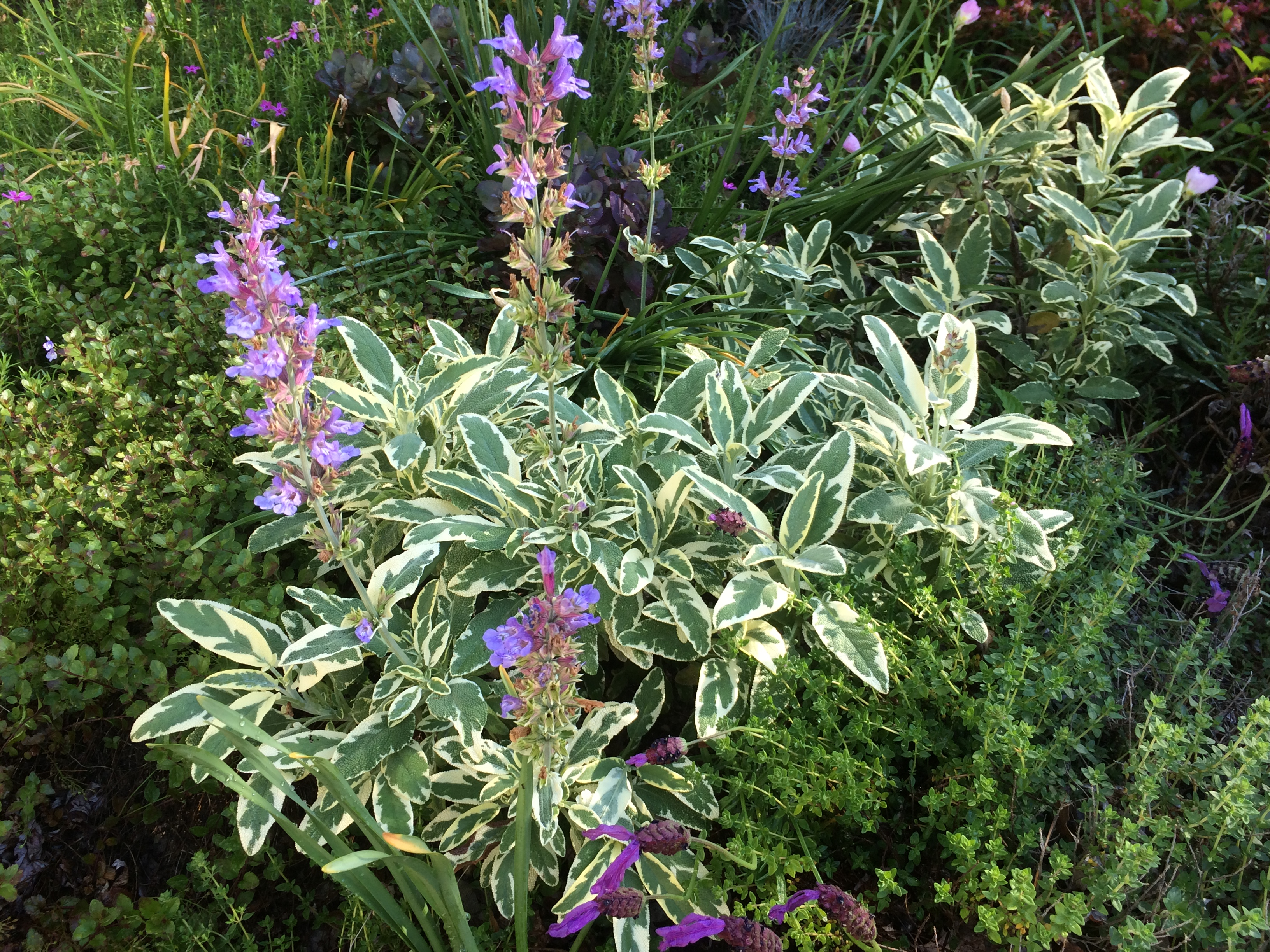 Variegated Sage - You Can Grow That! - pegplant